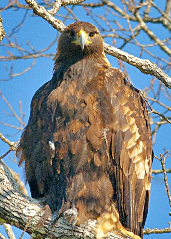 Golden Eagle picture taken by Photographer, Dan Valovich, on Lake Ouachita
