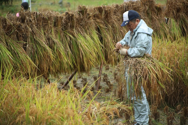 A Japanese local volunteer prepares to hang rice stalks during a Youth Cultural Program rice harvesting trip in Tenno, Japan, Oct. 5, 2013. After the harvest, participants enjoyed fresh rice at the former Tenno Elementary School.
