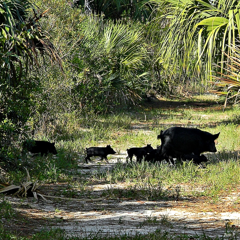 This family of wild hogs, the most destructive exotic animal species found throughout Florida, was seen in North Palm Beach, Fla.  With a growing population, wild boars pose a threat to human and animal health.