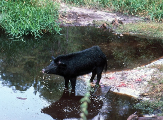 Wild hogs cause problems at levees because they dig around them, allowing other invasive plants to get established and increasing costs for treating invasives on the levee that normally wouldn't be there.