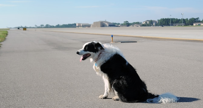 """Flew, a Bird/Wildlife Aircraft Strike Hazard canine, sits on the flightline at Hurlburt Field, Fla., Oct. 3, 2013. Flew minimizes wildlife incidents with aircraft by acting as a predator to deter prey animals from her """"territory."""" (U.S. Air Force Photo/ Staff Sgt. Victoria Sneed)"""