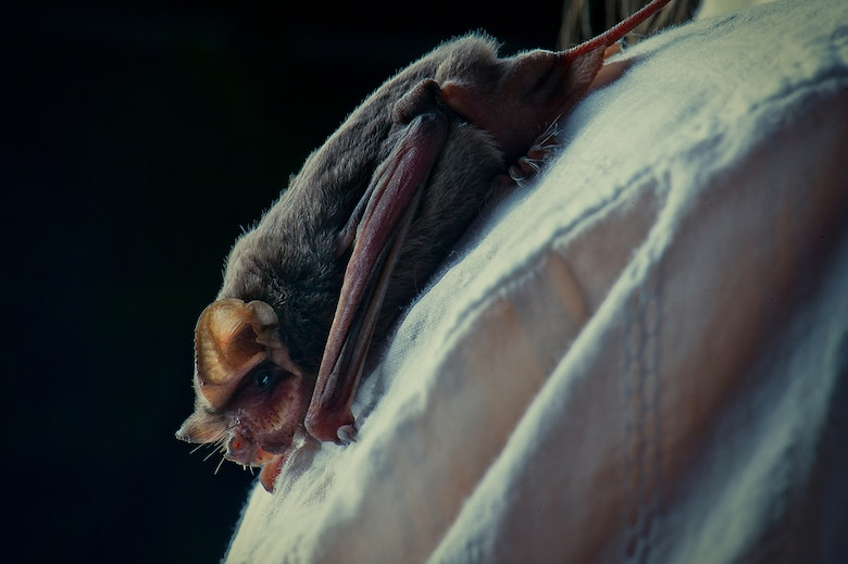 The majority of the bats in Bracken Cave are females nursing their babies, so every evening during these months they emerge between 6 and 8 p.m. to feed.  Because of the sheer volume of these tiny winged creatures, base training aircraft can find themselves battling the bats for airspace. (U.S. Air Force photo by Tech. Sgt. Samuel Benedet/Released)