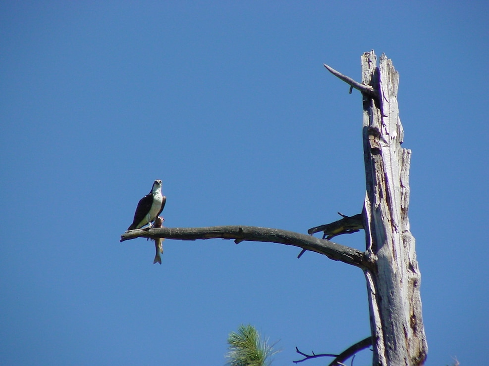 Osprey  in Tree Eating a Fish at Albeni Falls Dam