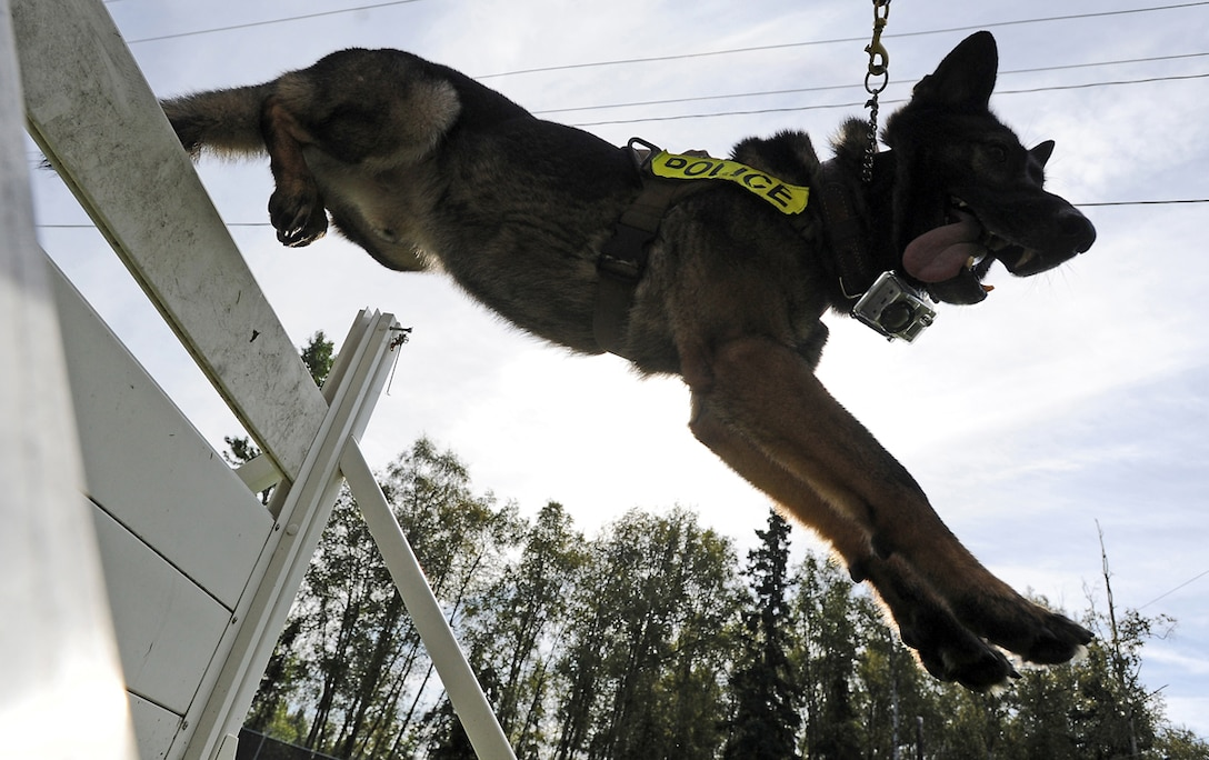Ajax, a German shepherd military working dog assigned to the 673d Air Base Wing Security Forces Squadron, leaps over a hurdle during a training session on Joint Base Elmendorf-Richardson, Aug. 26, 2013. Security Forces Airmen continually train with their K9 counterparts to keep their teams flexible to respond to law enforcement emergencies, and for overseas deployments.  (U.S. Air Force photo by Justin Connaher/Released)