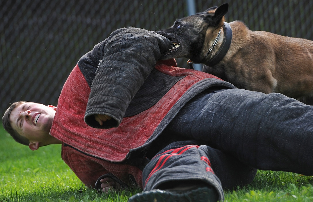 Senior Airman Shawn Witcher, assigned to the 673d Air Base Wing Security Forces Squadron, a native of Mesquite, Texas, winces as Kimba, a military working dog, locks onto his aggression suit during a training session on Joint Base Elmendorf-Richardson, Aug. 26, 2013. Security Forces Airmen continually train with their K9 counterparts to keep their teams flexible to respond to law enforcement emergencies, and for overseas deployments. (U.S. Air Force photo by Justin Connaher/Released)
