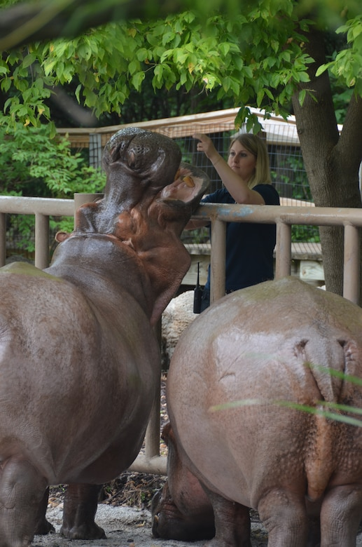 Casey Self, zoologist and 131st Bomb Wing Citizen-Airman, works with hippos 'Liberty' and 'Labor Day' in the Ruwenzori section of the Kansas City Zoo in Kansas City, Mo., Aug. 9, 2013.  She utilizes hand signals, a clicker, and healthy treats to evoke certain responses, such as opening their mouths, which allow her to safely check on the dental health of the hippo. (U.S. Air National Guard photo by Airman Halley Burgess/Released)