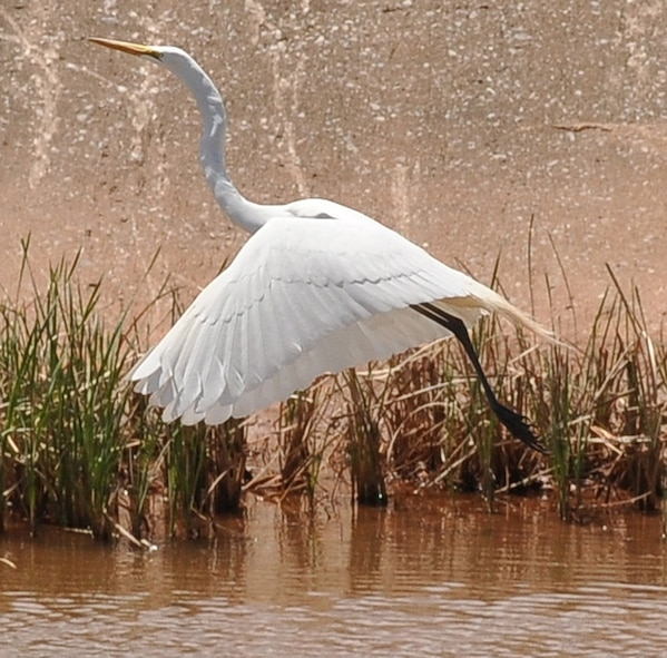 A great egret takes flight from a creek flowing through Tinker Air Force Base recently. According to Tinker officials, the seasonal time for large numbers of birds migrating south for the winter is near. Each year, more than 10 million migratory birds—  including egrets, cranes, ducks, geese and pelicans — travel through Oklahoma and the rest of the Central Flyway twice a year. (Air Force photo by Chad Jespersen)