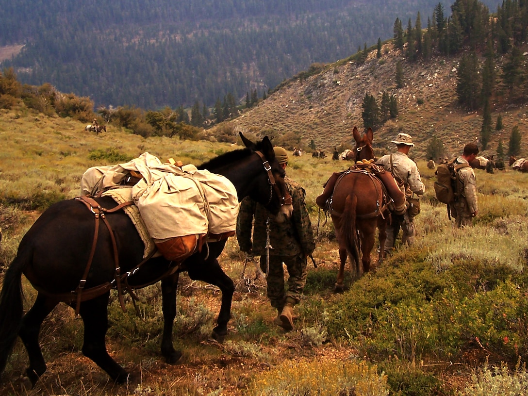 Marines and sailors with 1st Battalion, 10 Marine Regiment, 2nd Marine Division use pack mules to transport their food, water and ammunition in the rugged terrain of Toiyabe National Forest, Calif., while participating in Marine Corps Mountain Warfare Training from Aug. 14 through Sept. 14, 2013. Because of the high elevations where the training took place the Marine couldn't depend on helicopter support for resupply. Similarly, the rugged terrain prevented trucks and other motorized vehicles from conducting resupply missions, so the service members relied the animals to transport there equipment and supplies.