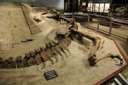 """The Wankel T.rex is prepared for exhibit in its original """"death pose"""" at Montana State University's Museum of the Rockies, Bozeman, Mont., 2005. The Wankel T.rex died in a riverbed more than 65 million years ago and was discovered by Kathy Wankel, a Montana rancher, near the Fort Peck Reservoir in Eastern Montana in 1988."""