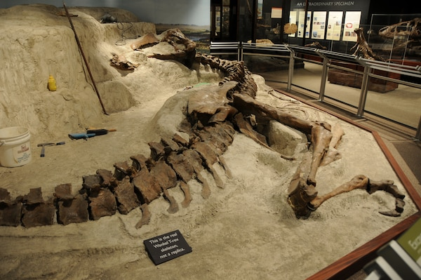 "The Wankel T.rex is prepared for exhibit in its original ""death pose"" at Montana State University's Museum of the Rockies, Bozeman, Mont., 2005. The Wankel T.rex died in a riverbed more than 65 million years ago and was discovered by Kathy Wankel, a Montana rancher, near the Fort Peck Reservoir in Eastern Montana in 1988."