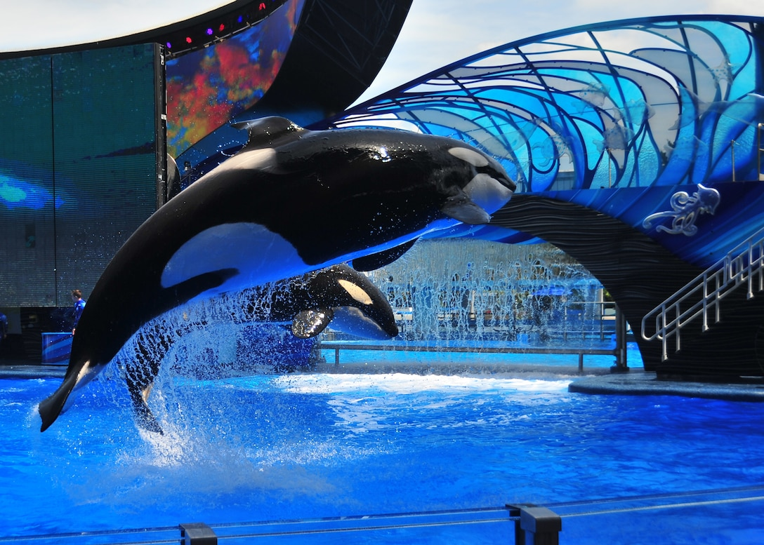 Two orca whales perform a routine at Sea World April 6 in Orlando, Fla. More than 50 Tyndall Airmen went to Orlando to work on their spiritual fitness. (U.S. Air Force photo by Airman Sergio A. Gamboa)
