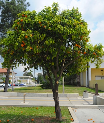 A citrus tree drops some of its remaining fruit outside the Incirlik Club Complex, Incirlik Air Base, Turkey, April 10, 2014. Citrus is one type of tree available for purchase and planting during the Arbor Day celebration scheduled to be held here April 26. (U.S. Air Force photo by 1st Lt. David Liapis/Released)