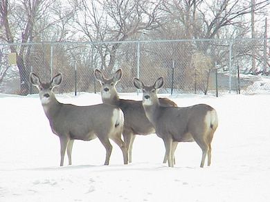 JOHN MARTIN RESERVOIR, COLO., -- Deer pause for a photo in the snow on the south side of the John Martin project office during the 2011-12 winter. Photo by Debbie Schibblehut.