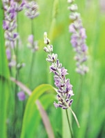 Kansas Lavender Farm.