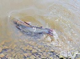 A channel catfish flips in the water July 8 at the Camp Funston Lake at Fort Riley. About 1,600 pounds of catfish were restocked into 29 lakes and ponds on post.