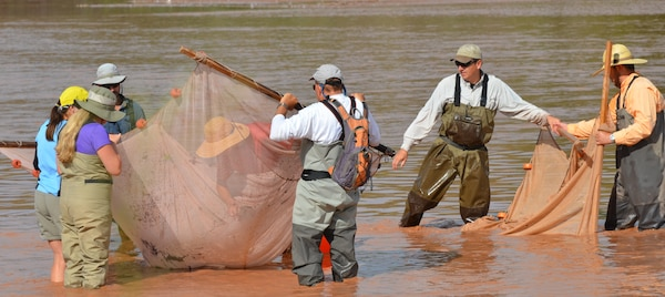 ALBUQUERQUE, N.M., -- Team members utilize the dual-net seining process to collect silvery minnows and other fish in the Rio Grande, July 31, 2014.