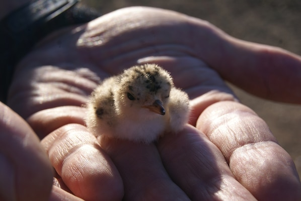 This Interior Least Tern hatchling is no more than three days old. Because it was was hatched so late in the season, its odds of survival are greatly reduced. It should be ready for the flight to South America by late-September if its mother doesn't abandon it.