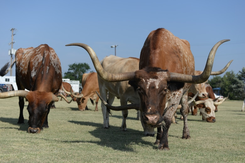 ALTUS AIR FORCE BASE, Okla. – Longhorn cattle graze before the start of the 16th Annual Altus AFB Cattle Drive Aug. 21, 2014. During the event, base leaders and rodeo staff members herd the cattle throughout the base for all to view. The cattle drive has become a precursor for the long-standing annual Great Plains Stampede Rodeo held in the city of Altus, Okla. (U.S. Air Force photo by Senior Airman Dillon Davis/Released)