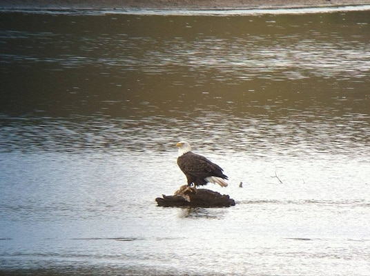 Stonewall Jackson Lake in Weston, West Virginia is proud source of sustainable living for the American bald eagle.