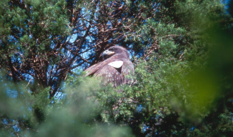 A young American Bald Eagle is perched in a tree on the shoreline of Dale Hollow Lake upon its release from a hacking tower Sept. 12, 1988.