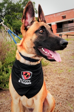 YYork, a military working dog in training with the Department of Defense?s Military Working Dog Breeding Program, is pictured at Joint Base San Antonio ? Lackland, Texas, Nov. 20, 2014. YYork is currently being fostered by Col. Susan M. Dickens, commander of the 149th Mission Support Group, Texas Air National Guard, a subordinate unit of the 149th Fighter Wing, at JBSA-Lackland. (U.S. Air National Guard photo by Senior Master Sgt. Mike Arellano / Released)