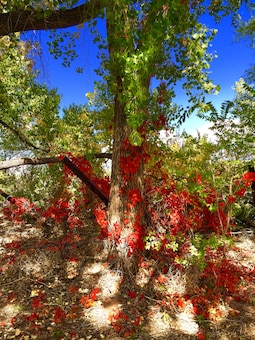 ALBUQUERQUE, N.M., -- Jetty jacks are covered in vines with fall foliage at the District's Rt. 66 restoration site, Oct. 20, 2014. This photo placed 3rd in the District's annual photo drive based on employee voting. Photo by Erica Quinn.