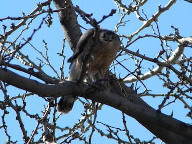 """A raptor perches on a tree branch."" Photo by Barry Easter, April 1, 2014."