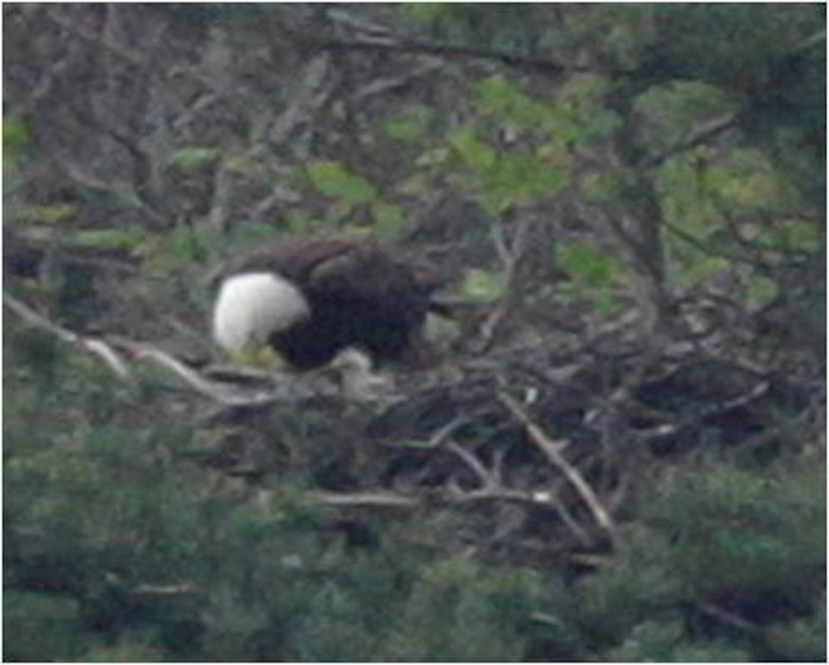 Raystown Lake bald eagle nest monitoring