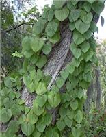 Invasive air-potato vine climbing a tree.