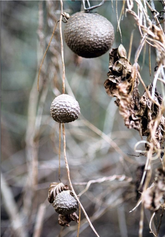 Air potato aerial tuber or bulbils in winter, ready to fall to the ground and sprout
