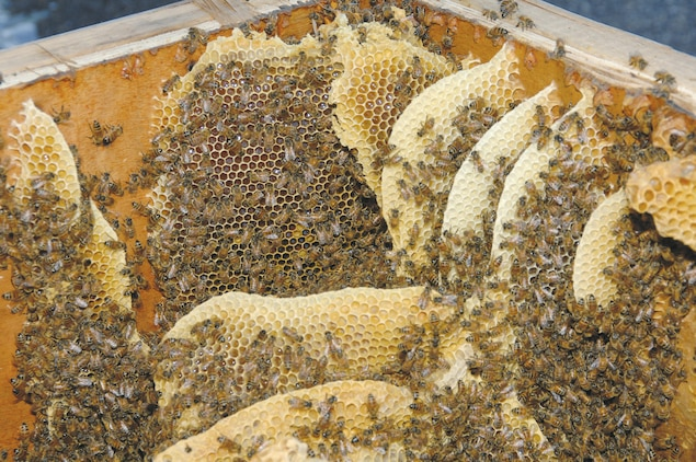 Georgia Master Beekeeper Dale Richter estimates nearly 60-80 pounds of honey and wax on the comb was found Friday inside a crate by a worker outside Building 1261 located at the south end of warehouse row.