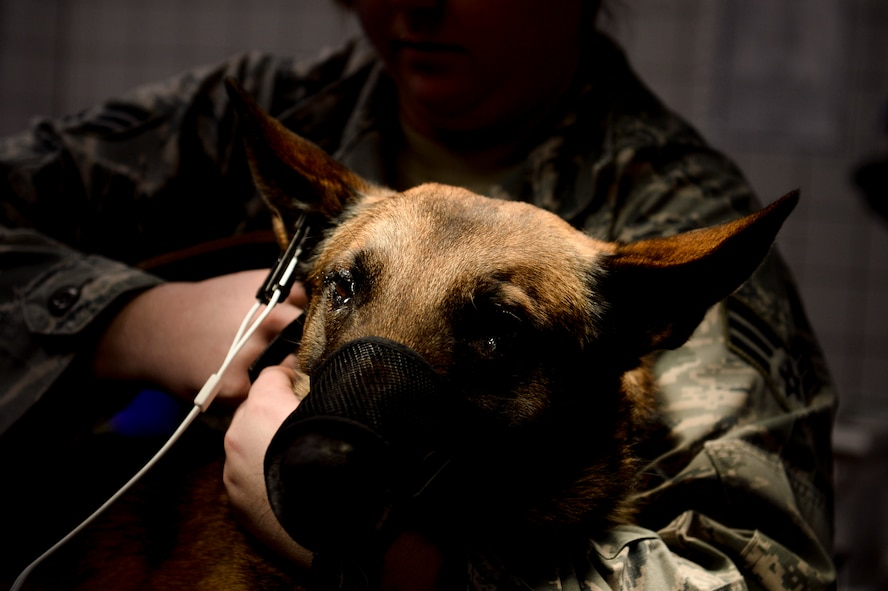 A 52nd Security Forces Squadron military working dog is held by his handler prior to undergoing a oral cleaning at the veterinarian clinic Dec. 4, 2013, at Spangdahlem Air Base, Germany. Military working dogs undergo dental cleaning every year. (U.S. Air Force photo by Senior Airman Rusty Frank/Released)