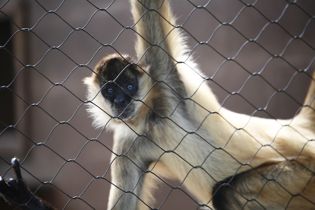 A black-handed spider monkey hangs from his enclosure at the Honolulu Zoo, Feb. 10, 2014. The monkeys got their name from their long limbs and gripping tails. (U.S. Marine Corps photo by Lance Cpl. Suzanna Knotts)