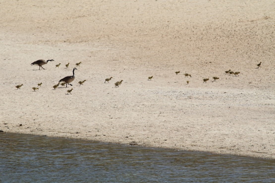 A brood of goslings is herded across the beach at Lucky Peak State Park's Sandy Point Unit.