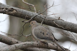 A lone Mourning Dove sitting on a branch near the Lewis and Clark Visitor Center at Gavins Point Project.  The Visitor Center is a great location for bird watchers.