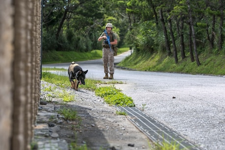 Cpl. Dusten R. Bradburn, right, directs his military working dog, Falco, July 2 in the Central Training Area. MWDs and their handlers executed improvised explosive device detection training, in which the dog teams patrolled through areas with odors typically associated with IEDs. The goal of the training was to identify all indicators in the lane. Bradburn is a Springfield, Colorado, native and military working dog handler with 3rd Law Enforcement Battalion, III Marine Expeditionary Force Headquarters Group, III MEF. Falco is a patrol explosive detection dog with the battalion.