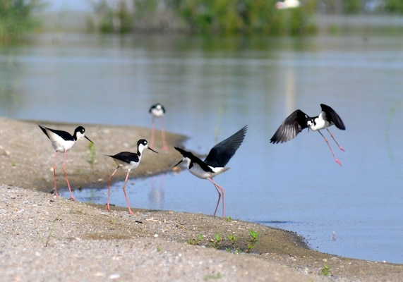 Black-necked stilts gather near the water's edge at the newly-constructed bird island, located at the Savannah Harbor Dredged Material Containment Area 12A, May 30, 2014.