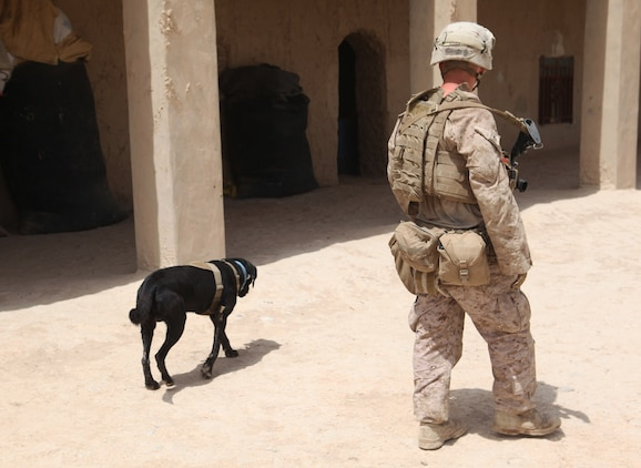 Cpl. Taylor Cross, a working-dog handler with 1st Battalion, 7th Marine Regiment, walks alongside his working dog, Vito, during a security patrol in Helmand province, Afghanistan, July 4, 2014. Vito, a 6-year-old purebred black lab, is trained to detect explosive material, both military and homemade. (U.S. Marine Corps photo by Cpl. Cody Haas/ Released)