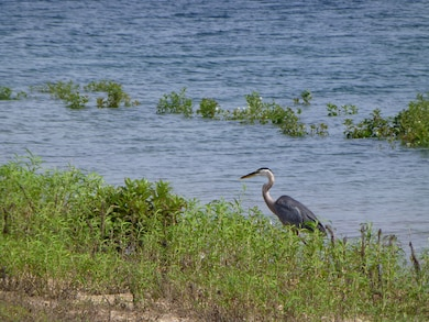 A Great Blue Heron stalks its prey at Highway 125 Park on Bull Shoals Lake.