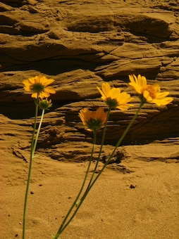 EL PASO, TX. -- Sandstone and sunflowers at the base of a terrace for the Sparks Arroyo. Photo by Michael Porter, June 12, 2009.