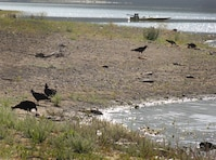 Vultures line the Lake Mendocino shoreline Saturday dining on dead carp washed ashore during the past week. Swimming is currently prohibited at the 1,900-acre lake which was formed by the construction of Coyote Valley Dam in 1959 to provide flood control, water conservation, hydroelectric power and recreation.