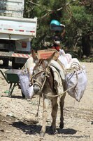 A donkey is typical transportation for farmers carrying goods to market in Haiti. Poorly constructed roads make the journey long and tedious, and oftentimes goods spoil before they reach the market.