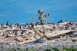 Double-crested cormorants on East Sand Island near the mouth of the Columbia River consume about 11 million juvenile salmonids annually. The young fish, listed under the Endangered Species Act, migrate through the estuary to the Pacific Ocean.