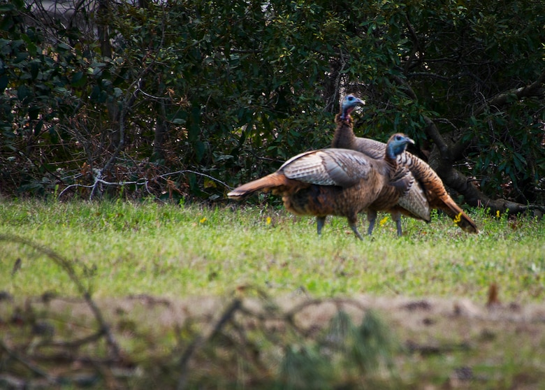 A couple of wild turkeys were spotted along Eglin Boulevard March 3 at Eglin Air Force Base, Fla.  Spring brings these normally reclusive birds out into the open to feed on new vegetative growth and insects.  The Eglin reservation has a sizable wild turkey population including a growing number on the main base.  For more information on wild turkeys or the upcoming turkey seasons, call Jackson Guard at 882-4165 or 4166.  (U.S. Air Force photo/Samuel King Jr.)
