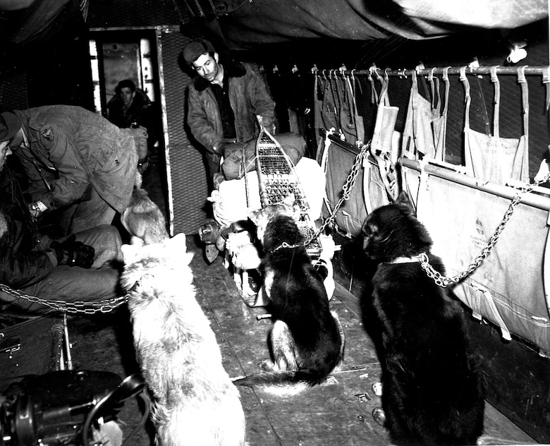 A team of military working dogs sits inside an aircraft circa 1950. (Photo courtesy of Alaska Veterans Museum, archives)