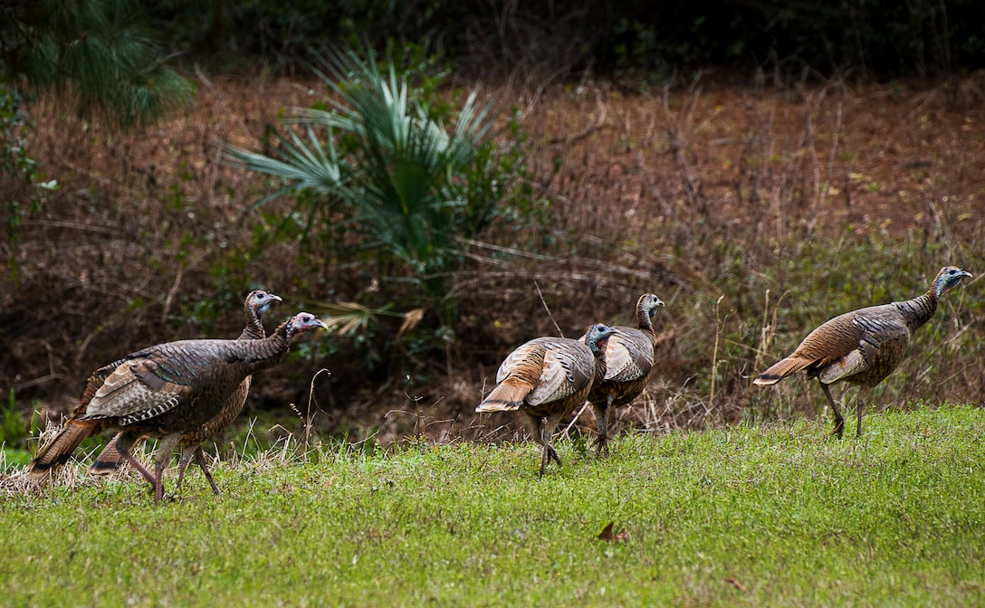 A group of approximately 13 wild turkeys were spotted along Eglin Boulevard March 7 at Eglin Air Force Base, Fla. Spring brings these normally reclusive birds out into the open to feed on new vegetative growth and insects. The Eglin reservation has a sizable wild turkey population including a growing number on the main base. For more information on wild turkeys or the upcoming turkey seasons, call Jackson Guard at 882-4165 or 4166. (U.S. Air Force photo/Samuel King Jr.)