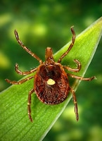 Ticks can be rampant in the spring. Be sure you know what they look like and how to remove them.