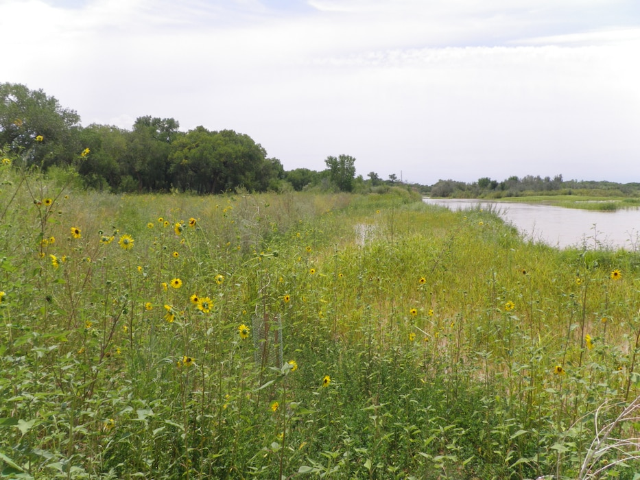 ALBUQUERQUE, N.M., -- Sunflowers along the banks of the Rio Grande on Aug. 17, 2012. Photo by Ondrea Hummel.