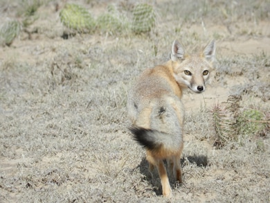 JOHN MARTIN DAM, COLO., --A fox near Rule Creek on Oct. 8, 2012. Photo by Craig Trinkle.