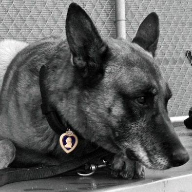 Navy Petty Officer 1st Class Valdo, working dog, wears a Purple Heart Medal on his collar. Valdo and his handler, Petty Officer 2nd Class Ryan Lee, were both wounded by shrapnel in a rocket propelled grenade attach in Bala Murghab District, Badghis Province, Afghanistan, April 4, 2011. Valdo fully recovered after five surgeries, served another year, and retired with a Purple Heart Medal, and now lives with Lee in New Jersey. (U.S. Air Force photo by Master Sgt. Kevin Wallace/RELEASED)